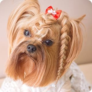 Coupe de cheveux pour yorkshire